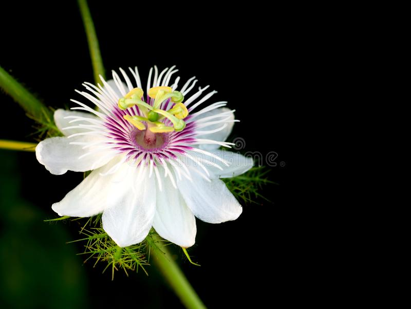 Close up a Passiflora foetida L. flower on black background stock images