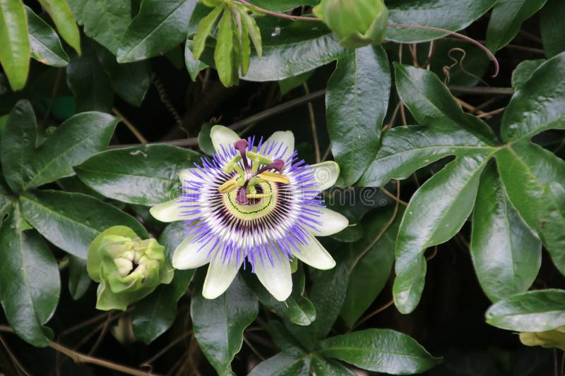Close-up of a passiflora in white and purple colors flower in a garden in the Netherlands. stock image