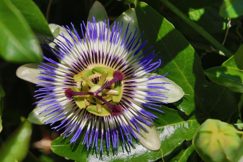 Close-up of a passiflora in white and purple colors flower in a garden in the Netherlands. royalty free stock images