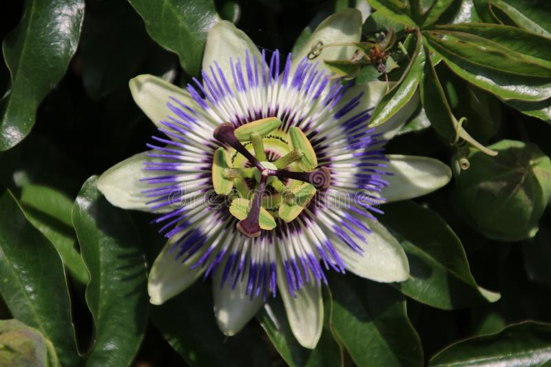 Close-up of a passiflora in white and purple colors flower in a garden in the Netherlands. royalty free stock photography