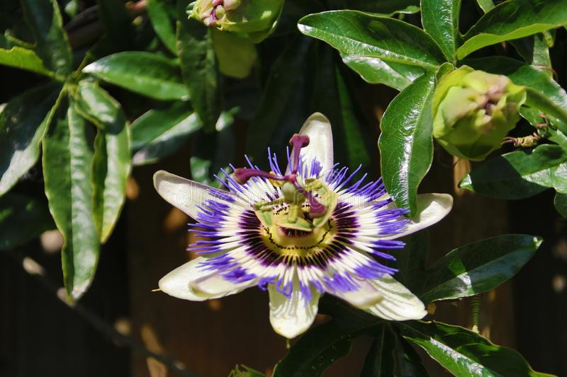 Close-up of a passiflora in white and purple colors flower in a garden in the Netherlands. royalty free stock photo