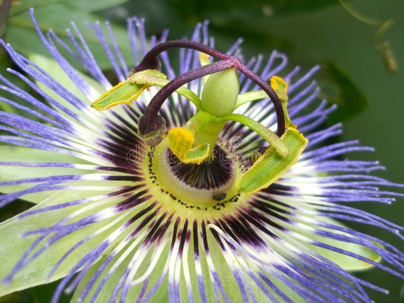 Close-up of passion flower bloom stock photo