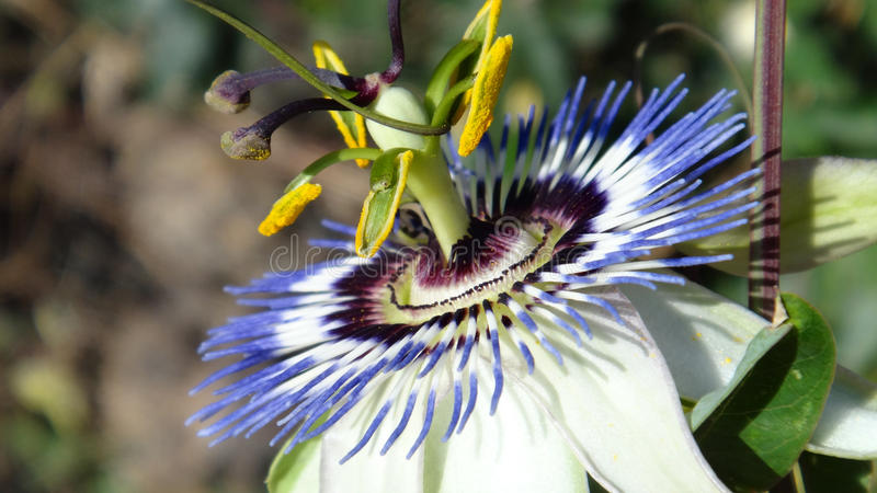 Close up of passion flower(Passiflora Caerulea). Photo so this climbing plant was taken in southwestern part of Turkey,Mugla province,Bodrum peninsula in summer stock images