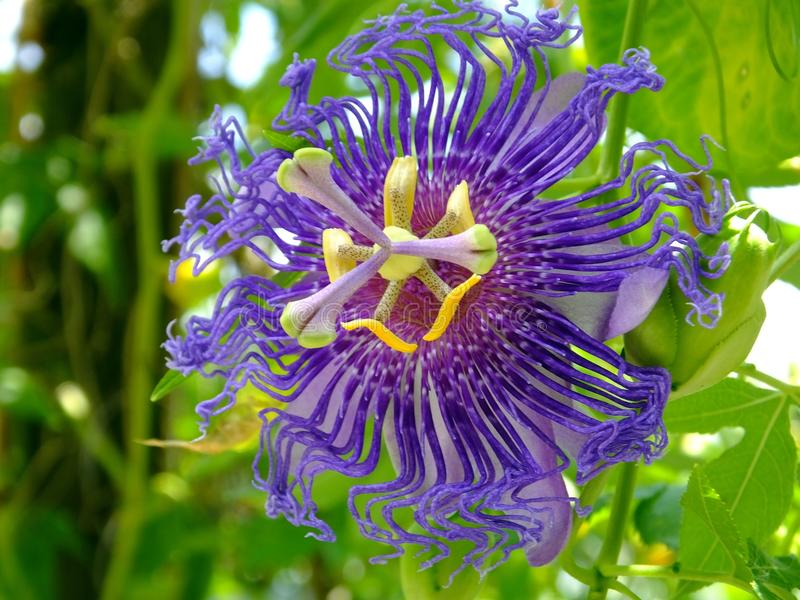 Passion Flower or Passiflora. Close-up of a Passion Flower royalty free stock image