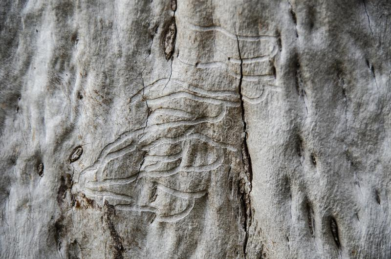 Woodworm on tree. Close up of pattern from woodworm on tree trunk stock images