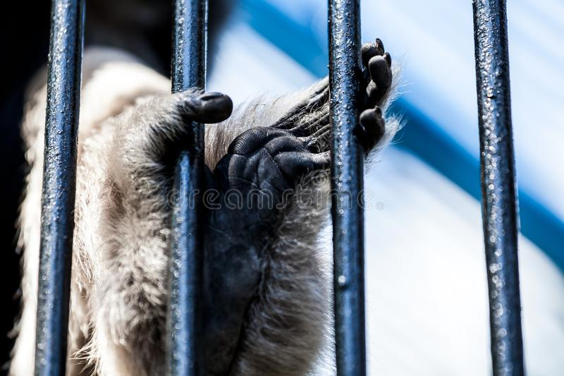 Gibbon pileated. A close-up of the paw of an adult gibbon pileated is kept behind bars in a zoo, the concept of sad jivota behind bars royalty free stock photo