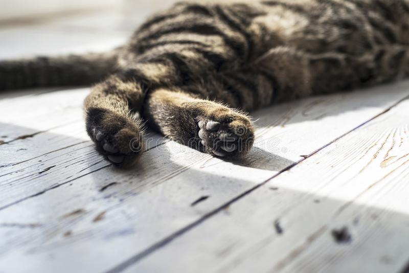 Close-up of paws from tabby cat. stock photos