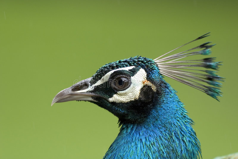 Close up of a peacock head stock photos