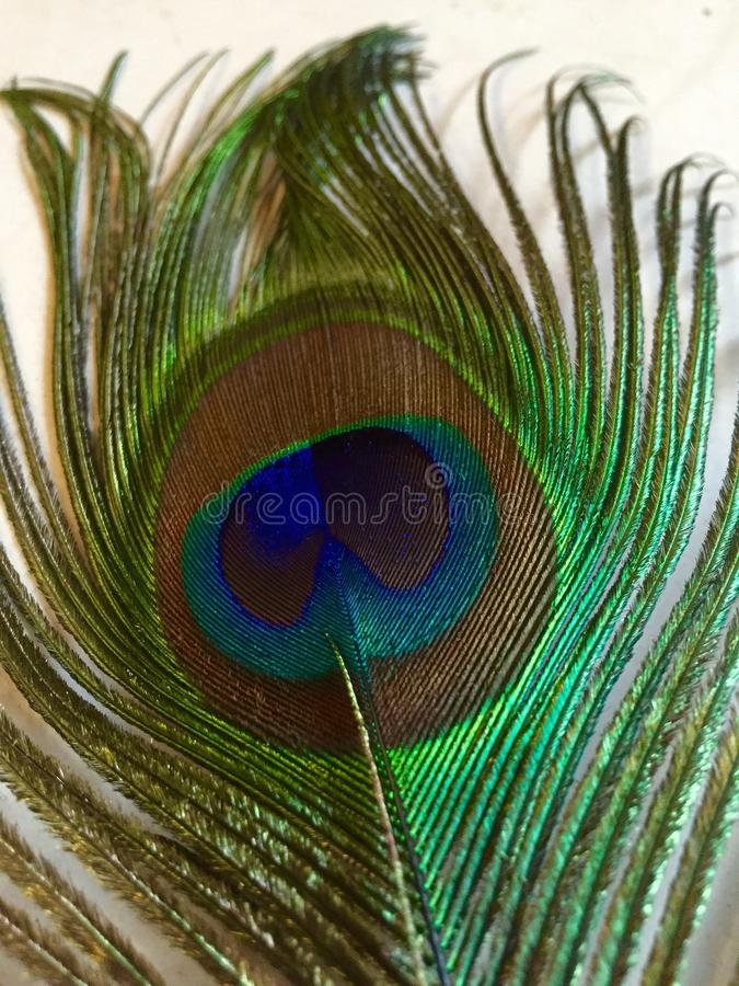 Close up of a Peacock's feather. Close up of Peacock's feather, extravagant eye-spotted tail covert feathers which he displays as part of a courtship ritual stock image