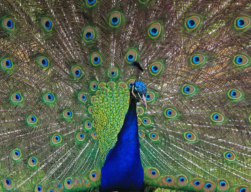 Close up of a Peacock. A close up study of a peacock stock photos