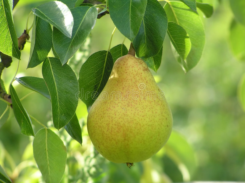 Close-up of pear royalty free stock photography