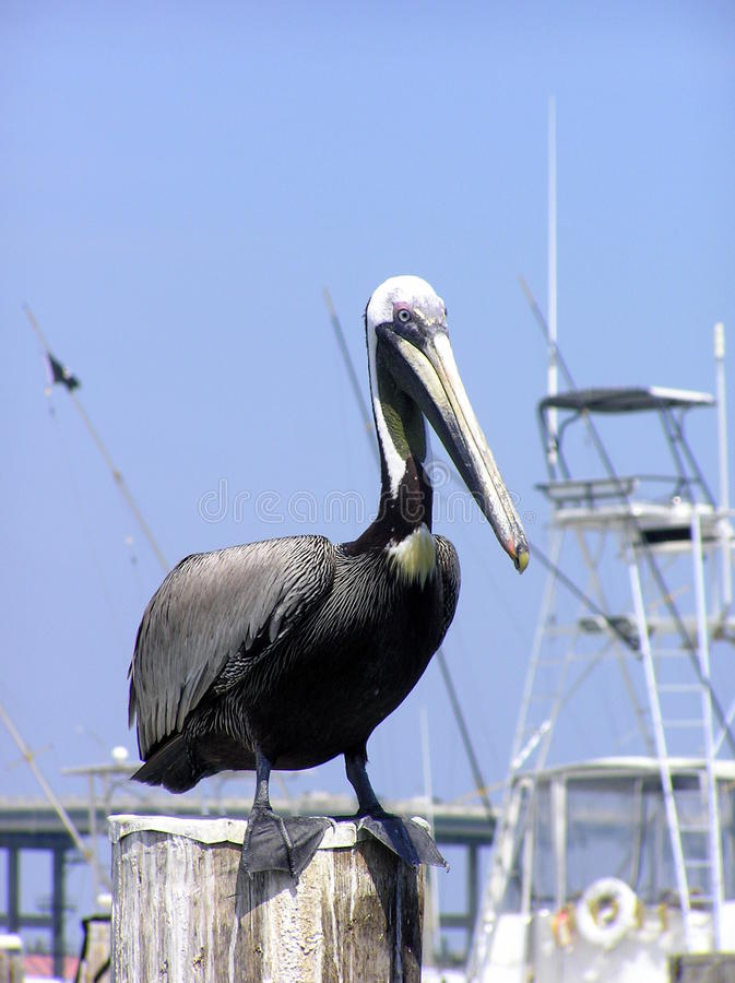 Close up of pelican at the harbor, Florida royalty free stock photos