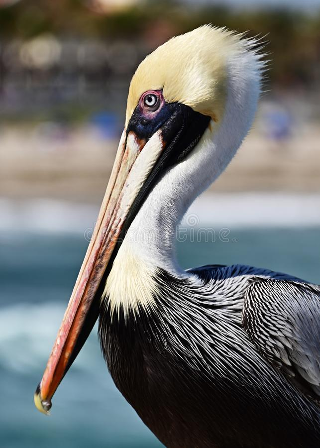 Close up of a Pelican. stock photography