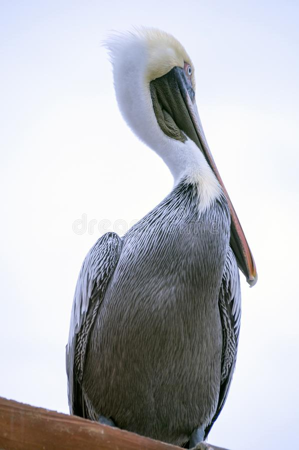 Pelikan posed for action. Close-up of a pelican waiting at the fish market for his share stock photos