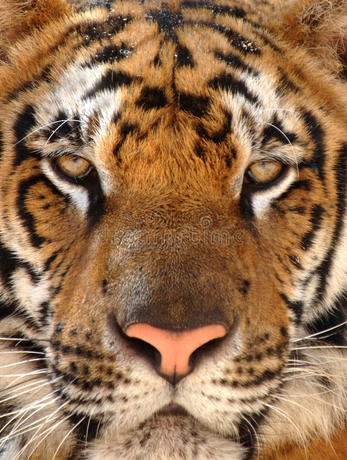 Close up penetrating eyes Bengal tiger, Thailand royalty free stock image