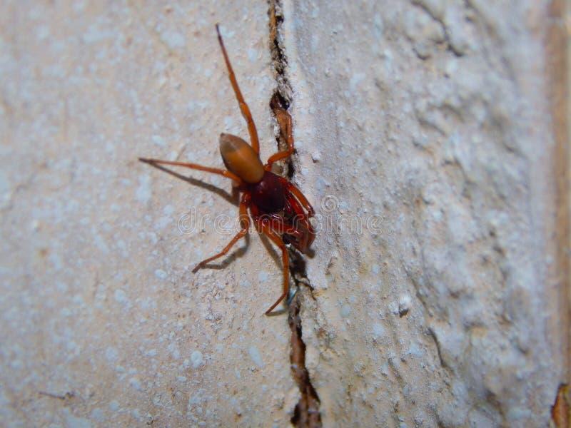 Close-up pequeno da aranha, descansando na parede imagem de stock