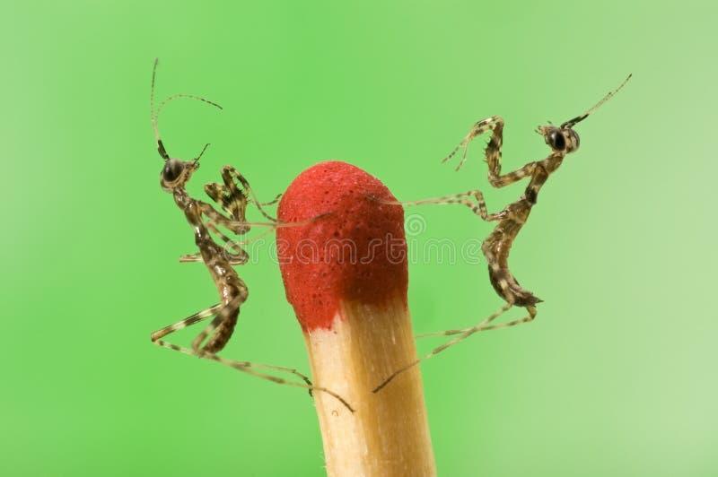 Close-up pequeno de dois mantiss fotografia de stock royalty free