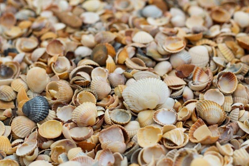 Close-up pequeno de muitos escudos que encontra-se na praia em um dia de verão imagem de stock royalty free