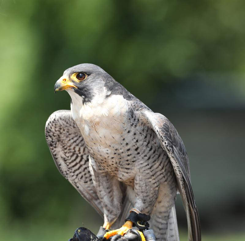 Close up of a Peregrine Falcon. Staring and waiting for the falconer to fly her royalty free stock photography