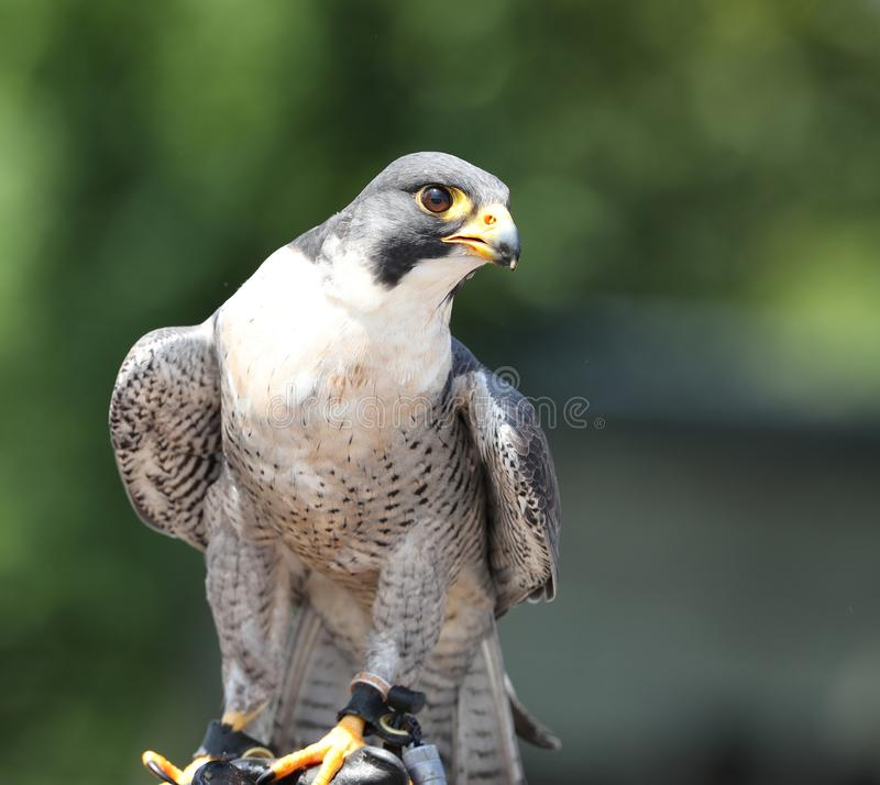 Close up of a Peregrine Falcon. Waiting for the falconer to fly her stock photos