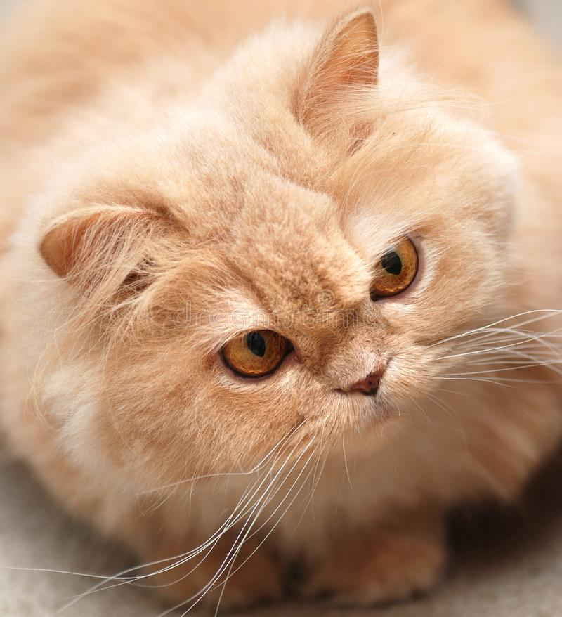 Download Close-up persian cat stock photo. Image of profile, macro - 10718304