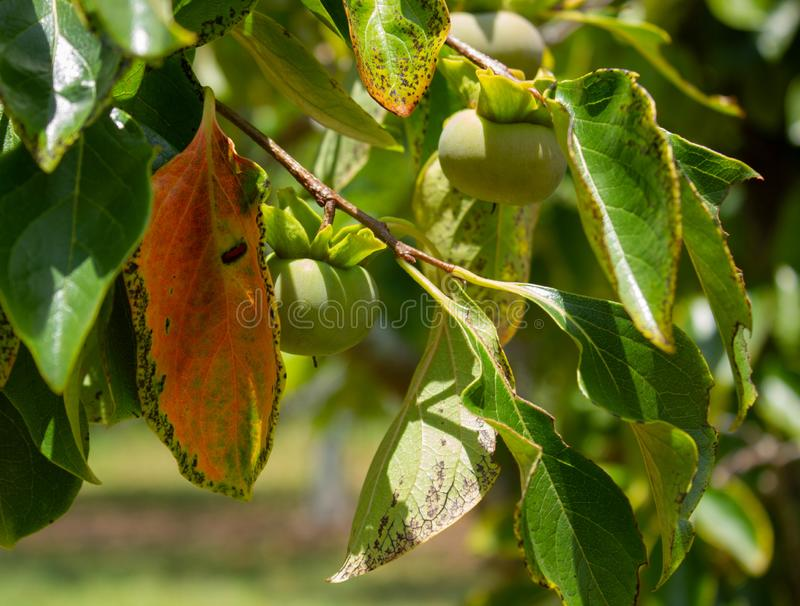 Persimmons ripening on tree in South Florida, USA. Close up of persimmon fruits ripening on diospyros tree in sunny South Florida, USA royalty free stock photo