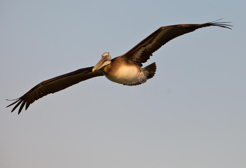 Close-up of Peruvian Pelican in flight