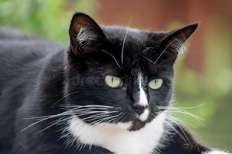 Close up of a pet cat. Close up of a domestic cat. Focus on the head royalty free stock photos