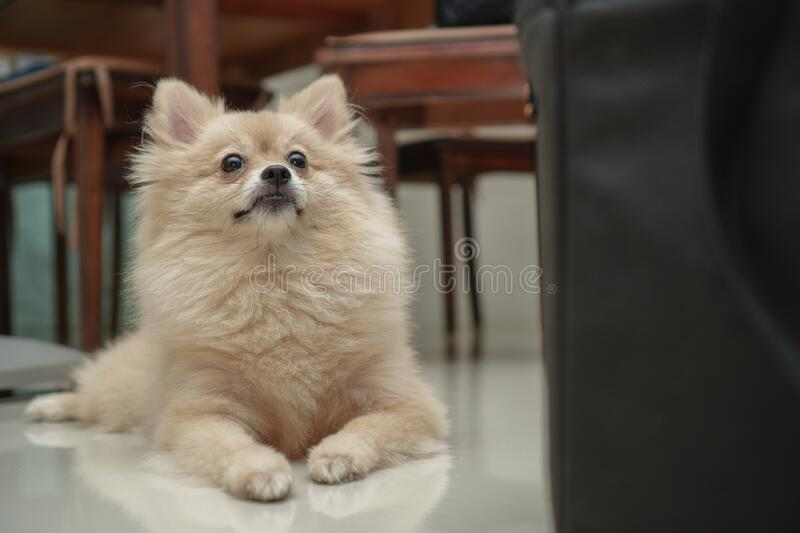 Pet, small dog breed for pomeranian, it lying down on the granite floor at home. Close up on pet, small dog breed for pomeranian, it lying down on the granite stock images