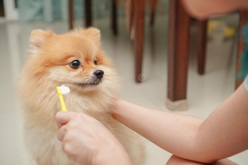 Pet, small dog breed for pomeranian, it standing on the granite floor and owner prepare to brush pet teeth. Close up on pet, small dog breed for pomeranian, it stock image