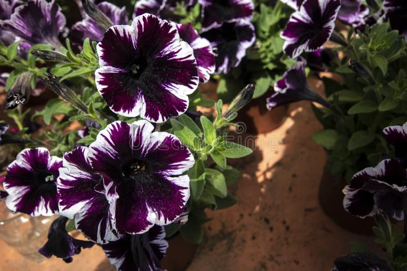 Close-up of Petunia Amore purple plant. royalty free stock photos