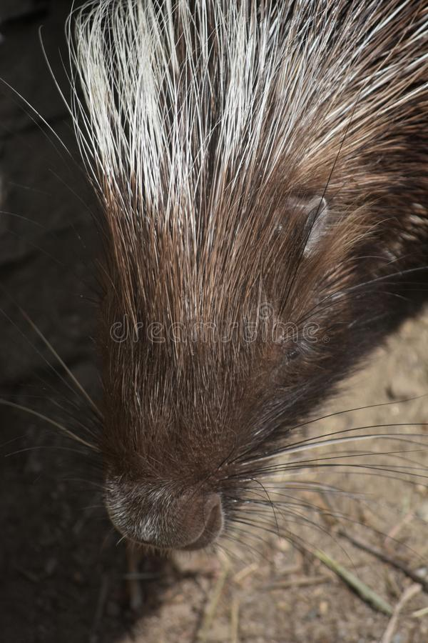 Close up photo of an adorable american porcupine. Cute brown porcupine with white tipped quills on its head stock photo