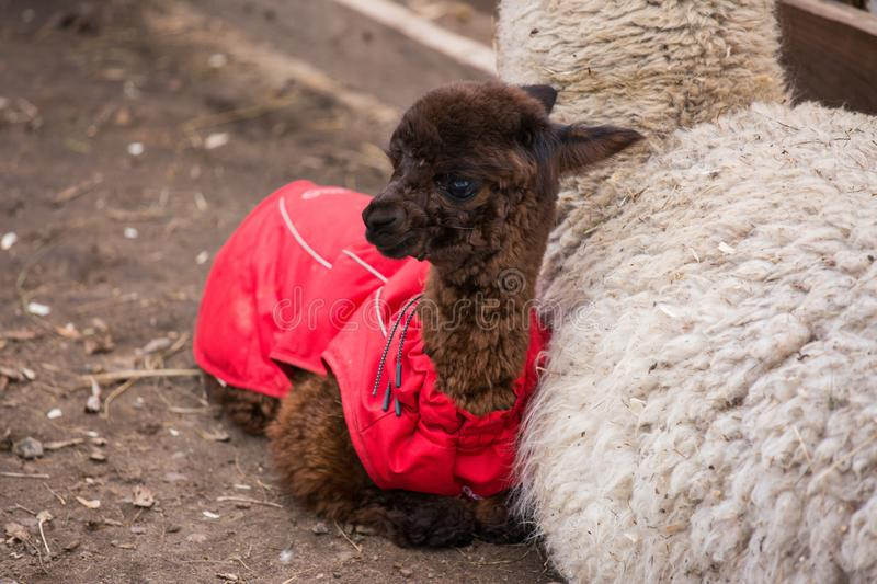 Close up photo of an adorable cute brown curly fluffy baby alpaca in red coat with big black clever eyes and its big royalty free stock photos