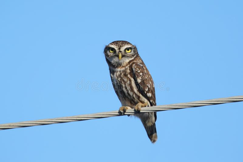 Close up photo of an adult little owl sits on wires against a bright blue sky. It is very convenient for selecting and cutting an object from the background stock image