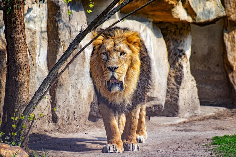 Close up photo of Barbary lion. He is going. The background is a rock. It is African lion. The Barbary lion was a Panthera leo royalty free stock image