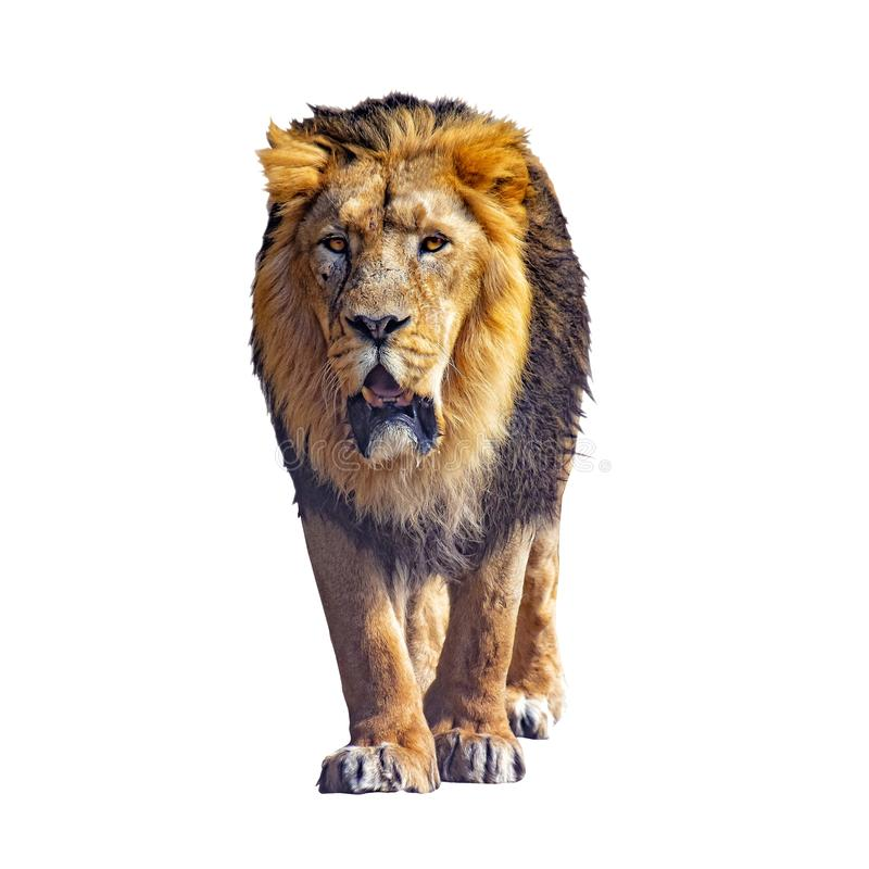 Close up photo of Barbary lion isolated on the white background. He is going. . It is African lion. The Barbary lion was a. Panthera leo population in North royalty free stock photo
