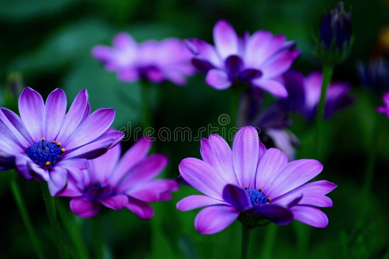 A close-up photo of a beautiful African daisy, or South African daisy, or Cape daisy, or blue-eyed daisy. These flowers are also k stock photos