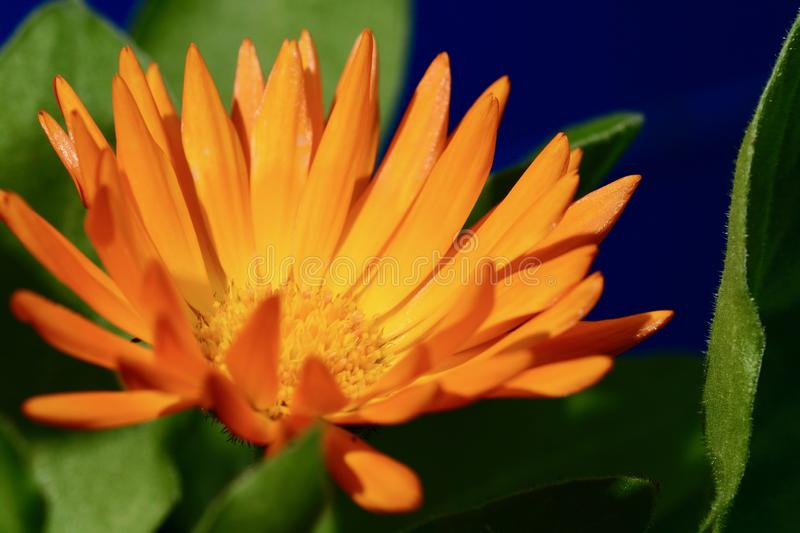 A close-up photo of a beautiful and cheerful garden calendula flower Calendula officinalis, bright-orange on dark background. stock photography