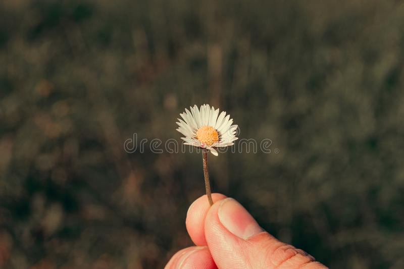 Close-up photo of a beautiful daisy. Portugal stock images