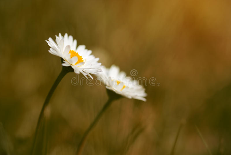 Close up photo of beautiful daisy. In sunset stock photography