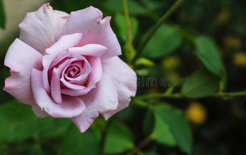Close up photo of a beautiful purple rose in the garden and background of green leaves stock images