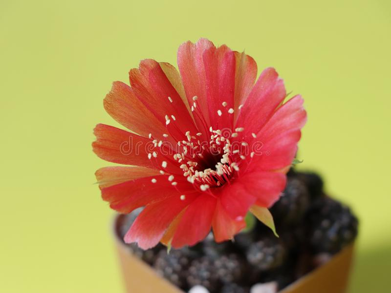 Close up photo of Beautiful small plant , red cactus flower bloom on bright yellow background. Selective focus royalty free stock image
