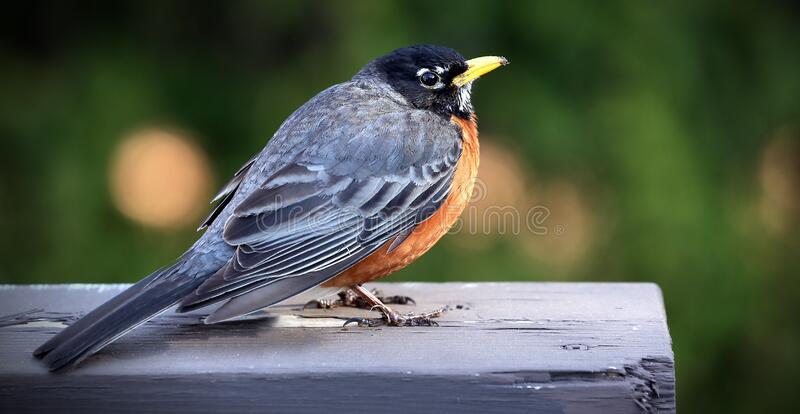 Close Up Photo of Black and Brown Sparrow Bird on Gray Wooden Bar during Daytime royalty free stock photography