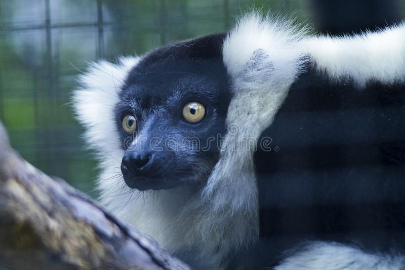 Close Up Photo of Black and White Animal stock photo