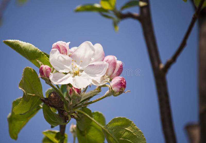 Close up photo of a blooming apple tree flower. Whit blue sky royalty free stock photography