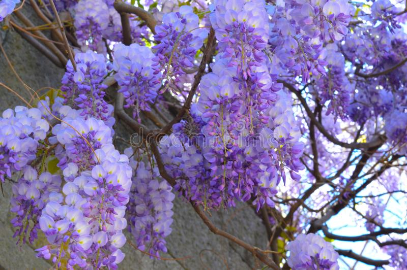 Close up photo of the blossom of the beautiful purple wisteria royalty free stock photos