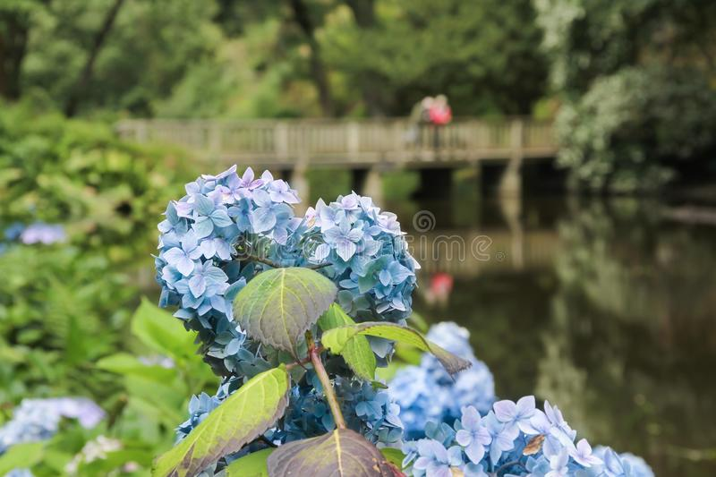 Blue Hydrangea in full bloom. royalty free stock photo