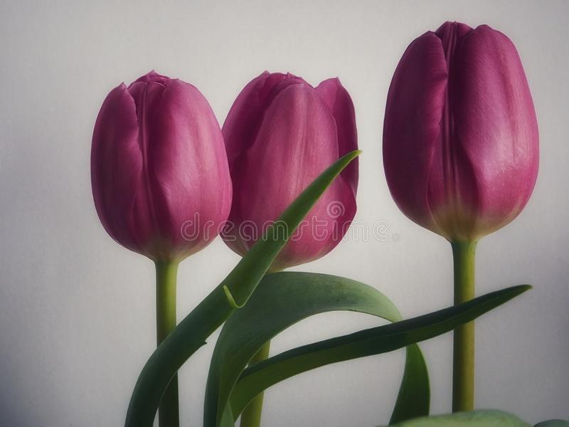Pink tulips close up royalty free illustration