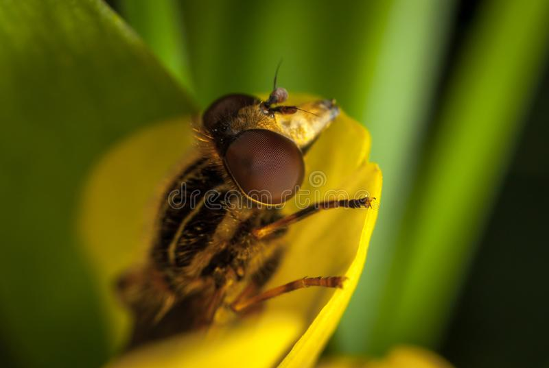 Close Up Photo of Brown and Black Roberfly stock images
