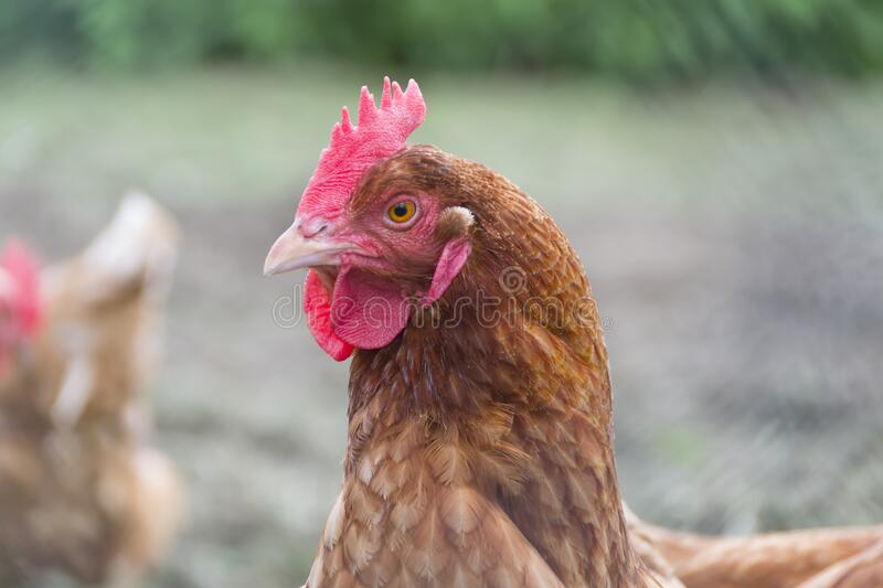 Close Up Photo of Brown Hen royalty free stock photo
